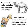 Camelo vs homem!