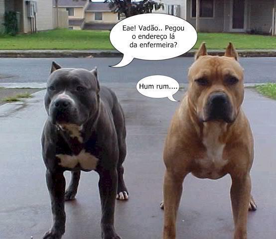 Pin Cachorro Pitbull Pelautscom On Pinterest