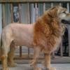 O rei leão!