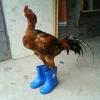 O galo de botas...