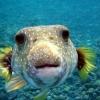 O primo do Nemo