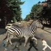 Zebra no asfalto!