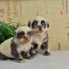 Filhote de cachorro ou de panda?