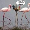 Quando o Galo Pegou o Flamingo