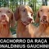Cachorro da raça ronaldinho gagucho