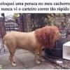Peruca de leão