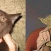 Gato Yoda