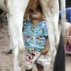 Mamando na Vaca...