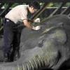Acupuntura em elefantes...