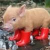 O porco de botas!