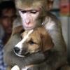 O macaco apaixonado...