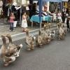 Desfile de patos!