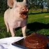 Aniversário do porco...