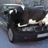 A vaca saiu do brejo...