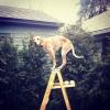 Maddie o cachorro equilibrista XVIII