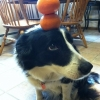 Cão equilibrista...