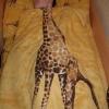 O sonho de ser girafa...