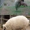 Cruzamento de porco com ovelha...