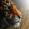 Quantos tigres você consegue ver ?